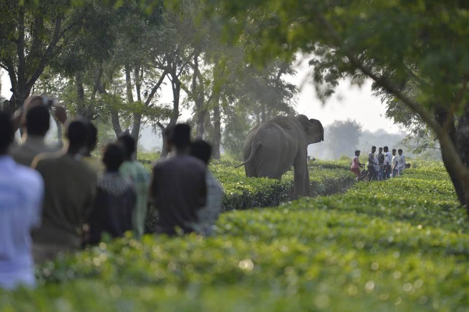Aldeões observam uma manada de elefantes selvagens em meio a uma plantação de chá nos arredores da cidade de Siliguri, na Índia - 29/11/2017