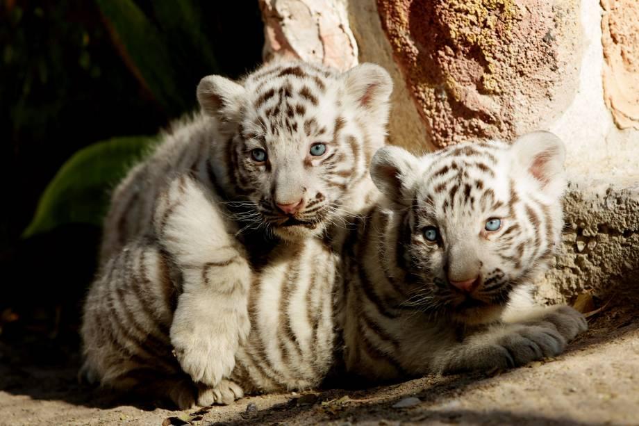 Filhotes de tigre branco de Bengala recém-nascidos são apresentados à imprensa no zoológico de San Jorge em Ciudad Juarez, no México - 28/11/2017