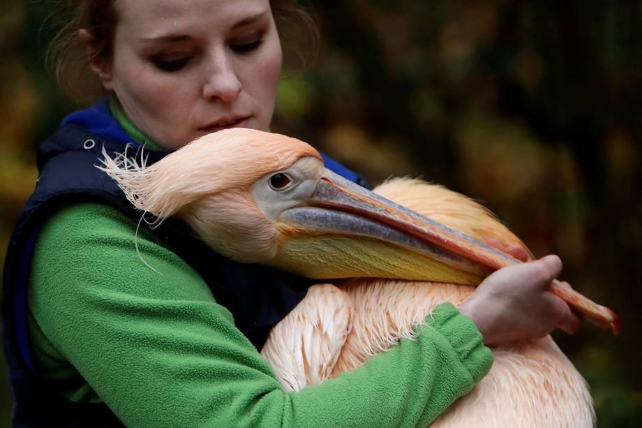 Os pelicanos do zoológico de Liberec, na República Checa, não têm a necessidade de voar para o sul durante o outono, para escaparem do frio do hemisfério norte, funcionários do zoo cuidam da migração dos animais para um recinto de inverno, onde ficarão aquecidos até que possam ser soltos em seu habitat a céu aberto no fim da estação - 06/11/2017