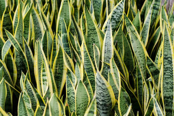 Sansevieria (mother-in-law's tongue) Background