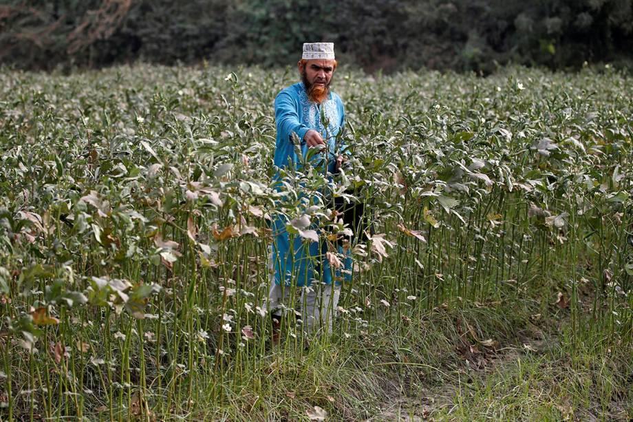 Fazendeiro colhe vegetais em fazenda nos arredores de Ahmedabad, na Índia - 21/12/2017