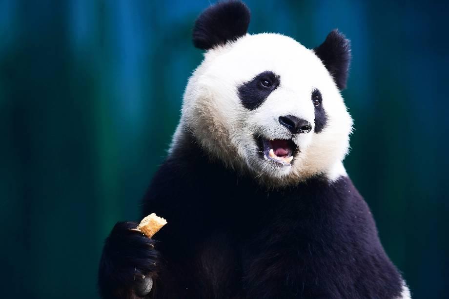 Panda se alimenta no zoológico florestal de Shenyang, na China - 20/12/2017