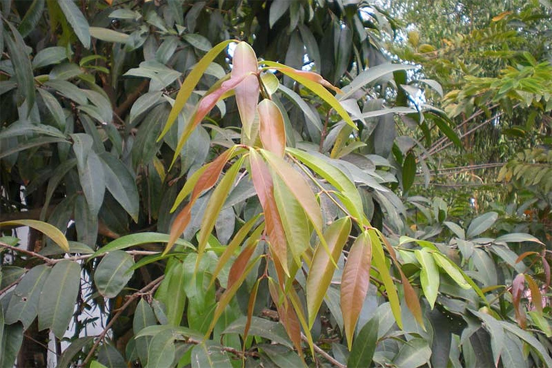 Árvore de Jambo Amarelo