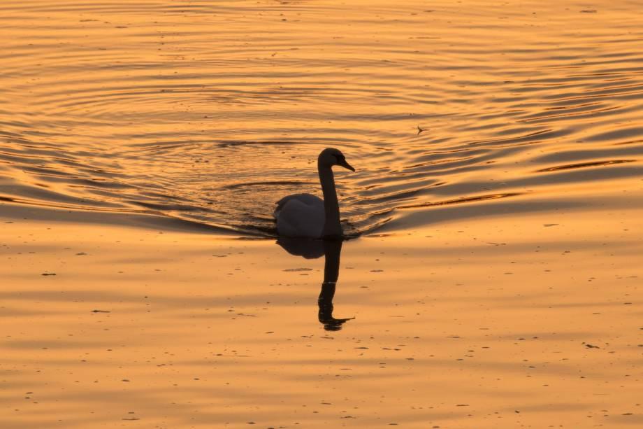Um cisne é fotografado sobre as águas douradas durante o amanhecer no Rio Elbe, em Dresden, no leste da Alemanha - 11/01/2018