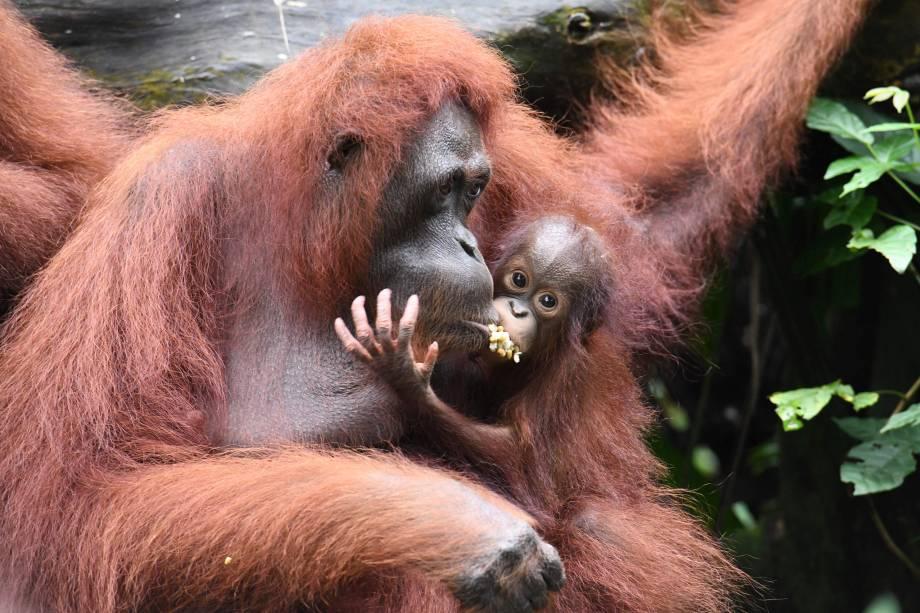 O bebê orangotango Khansa, é visto dividindo alimento com sua mãe em um gesto carinhoso no Jardim Zoológico de Singapura. As Reservas de Vida Selvagem, O Parque Jurong Bird de Singapura, o Safari da Noite, o Safari do Rio e o Zoológico de Singapura relataram cerca de 540 partos e nascimentos de animais em 2017, um quarto deles de espécies ameaçadas, já que os parques da vida selvagem continuam os esforços de criação de conservação - 11/01/2018