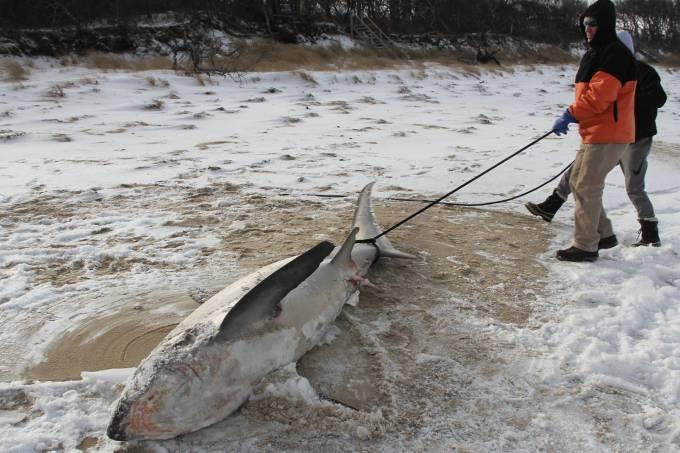 Onda de frio mata tubarões congelados nos EUA