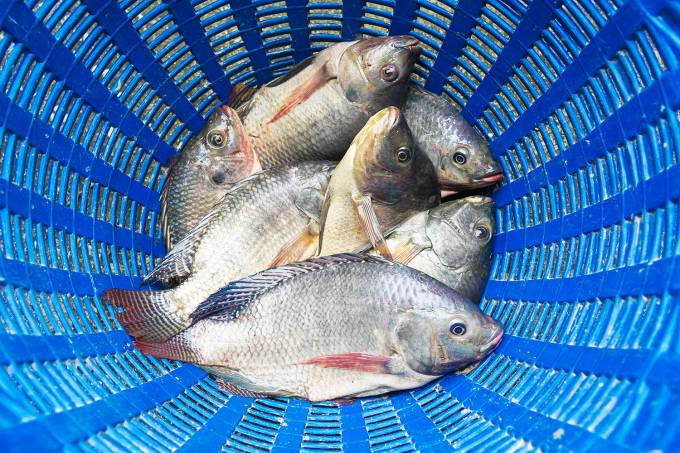 Peixe – Tilápia