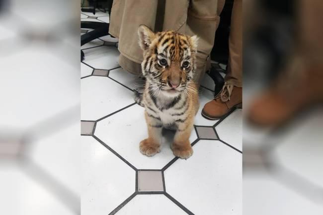 Filhote de tigre é interceptado após ser enviado pelo correio em Tlajomulco de Zúñiga, município localizado no estado mexicano de Jalisco - 07/02/2018