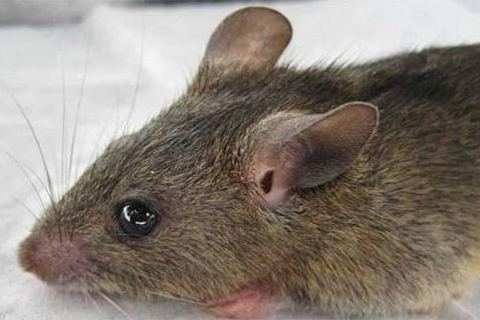 Rato africano