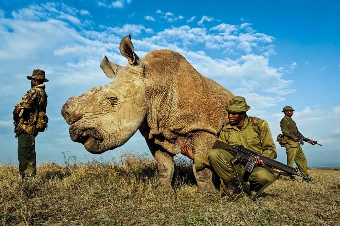 Sudan – O último macho de sua estirpe, a dos rinocerontes-brancos-do-norte