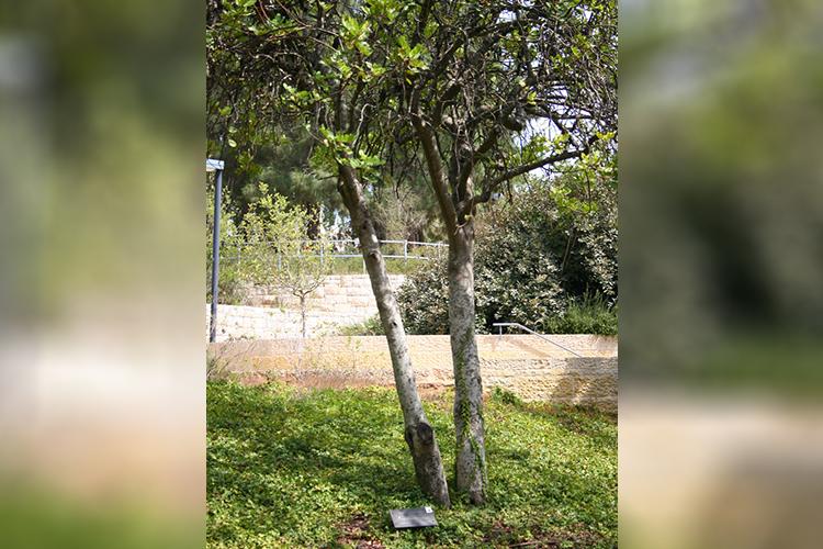 Árvore plantada por Oscar Schindler no Memorial do Holocausto, em Jerusalém