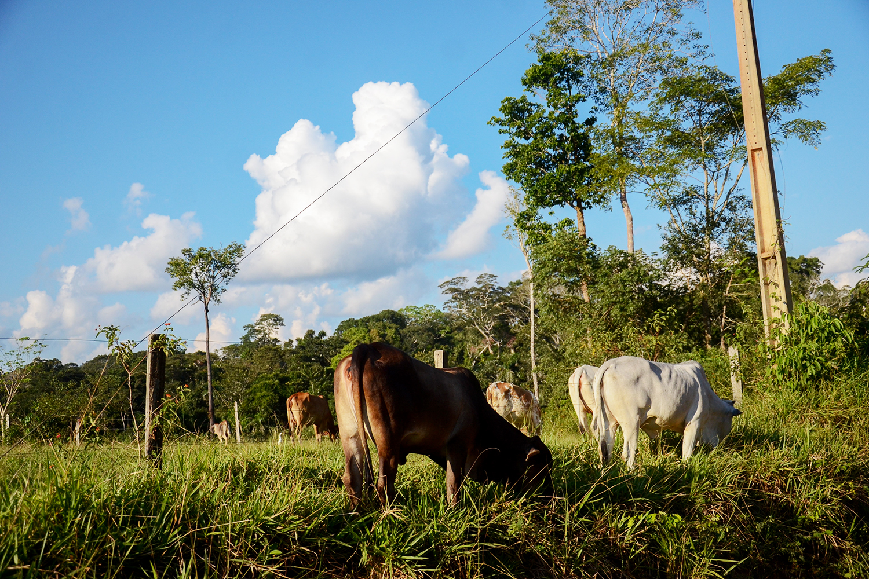 Gado no pasto na Reserva Extrativista Chico Mendes