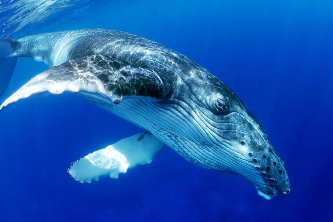Baleia-jubarte em oceano