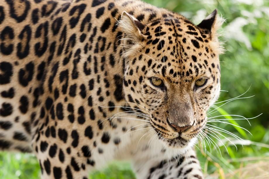 Animais da Rússia - Leopardo-de-amur