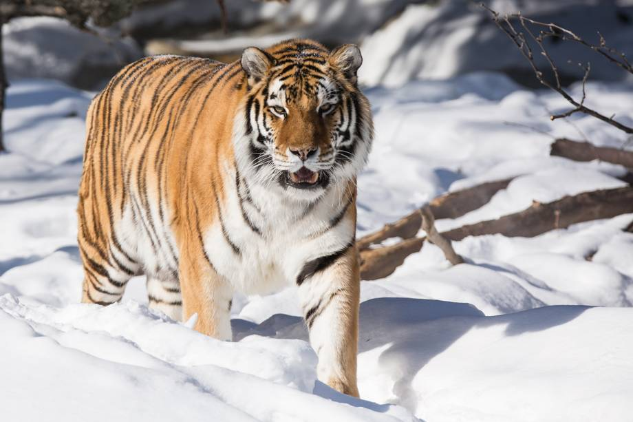 Animais da Rússia - Tigre siberiano