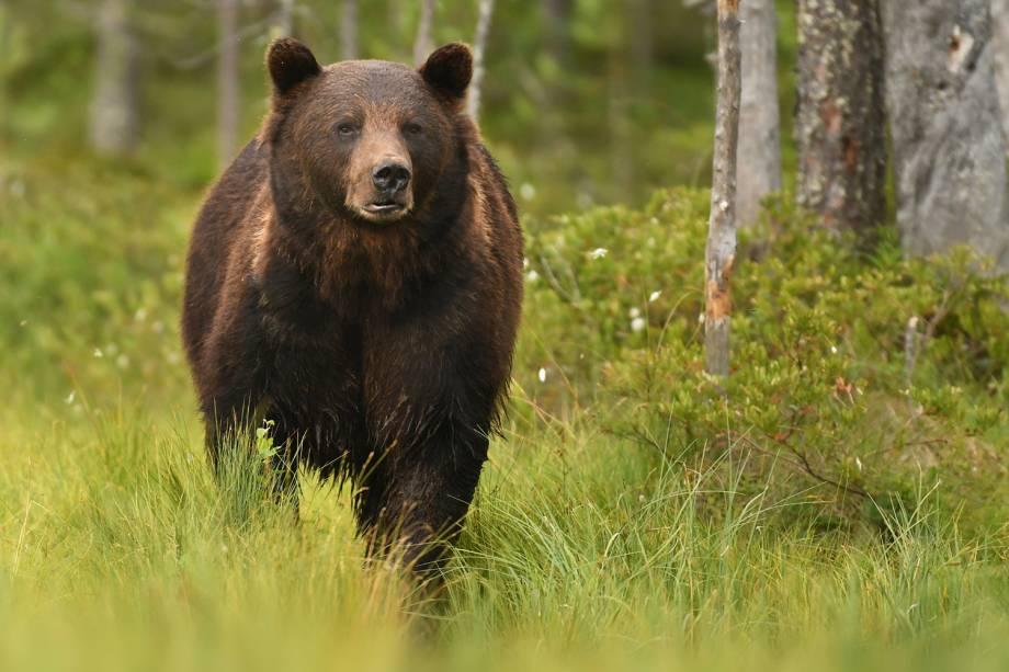 Animais da Rússia - Urso-pardo