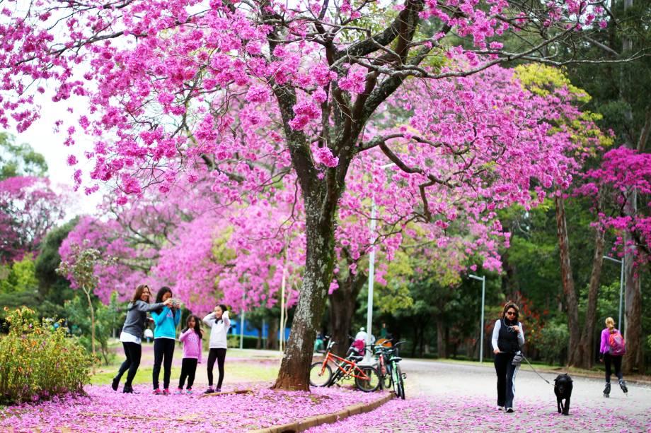 Ipê-roxo florido no Parque do Ibirapuera, zona sul da cidade de São Paulo