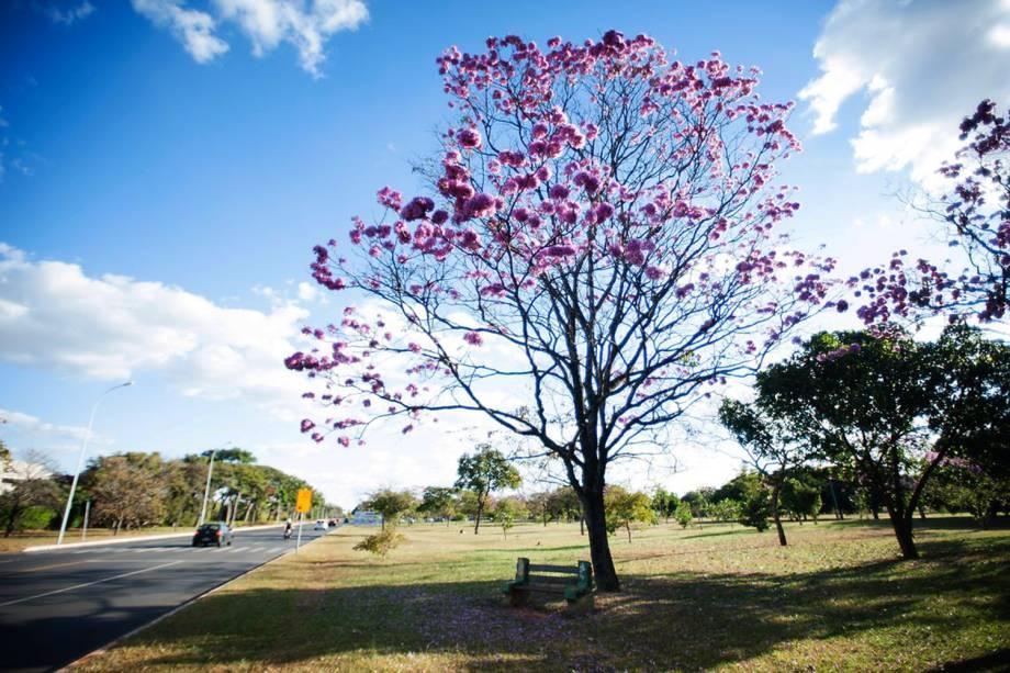 Floração dos ipês-roxo colorem a cidade de Brasília (DF)