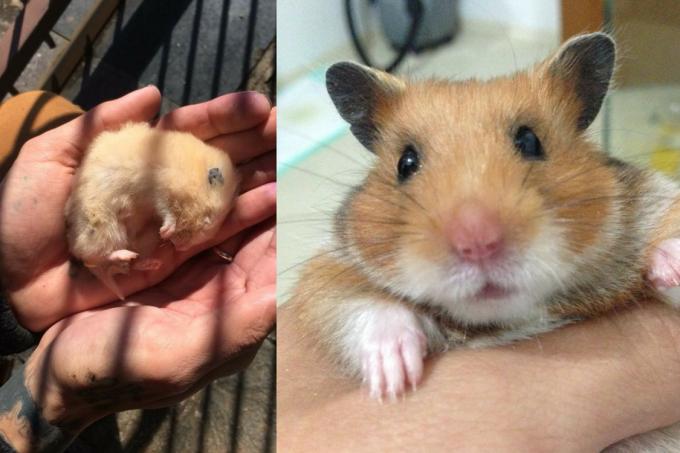 Hamsters Hibernam