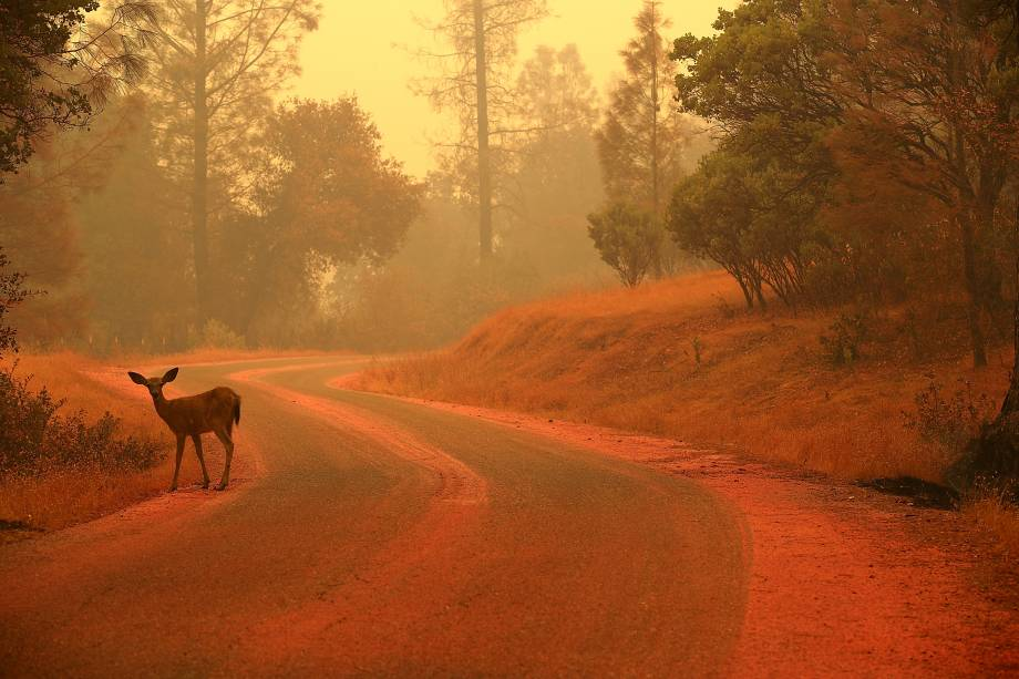 Cervo é visto em uma estrada coberta com pó retardador de fogo perto de Redding, na Califórnia - 28/07/2018