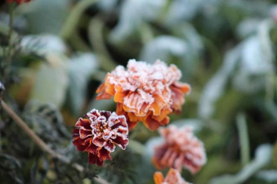Flores congeladas pela neve em Urupema, Santa Catarina