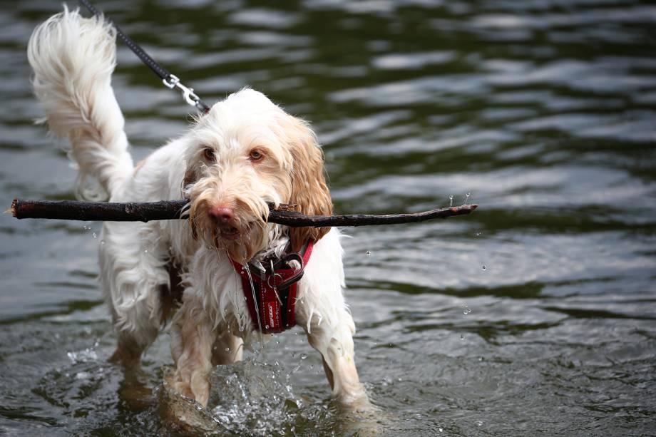 Cachorro pega graveto em lago do Parque St James's no centro de Londres, Inglaterra - 24/07/2018