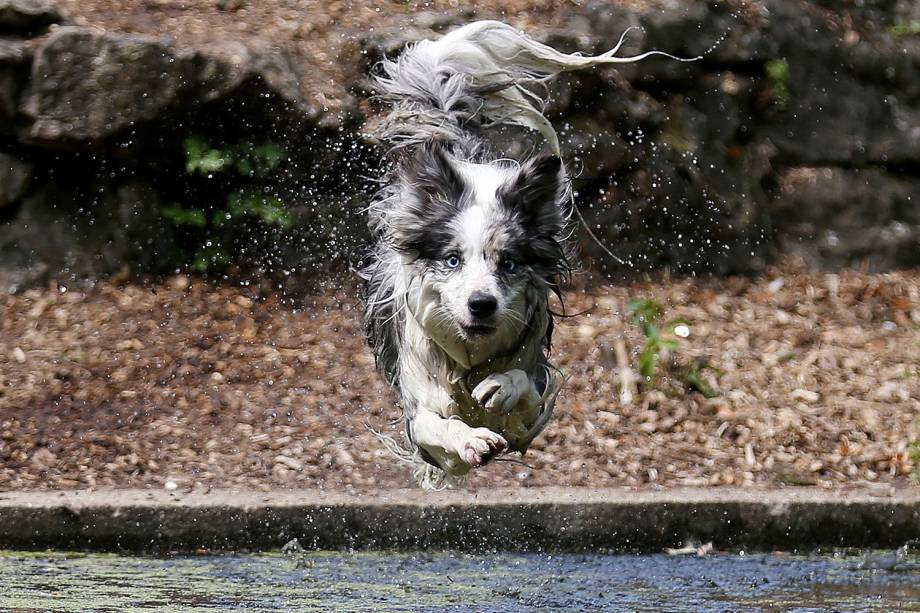 Cachorro chamado Tilly se joga na água do Parque Enfield Town em Londres, Inglaterra - 27/07/2018