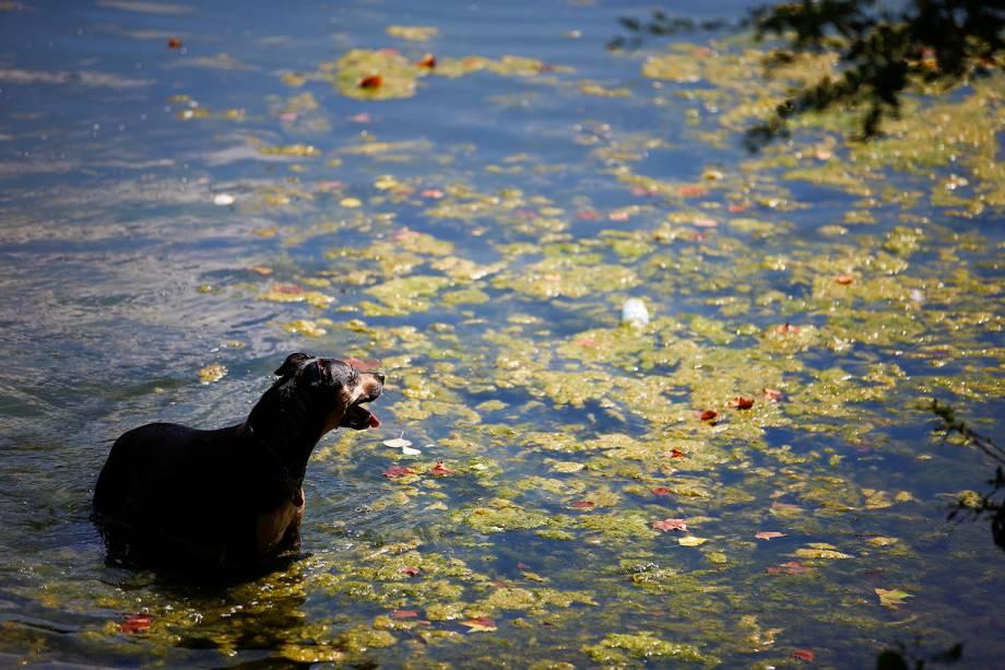 Cachorro nada em lagoa pública no Parque Hampstead Heath em Londres, Inglaterra - 03/08/2018