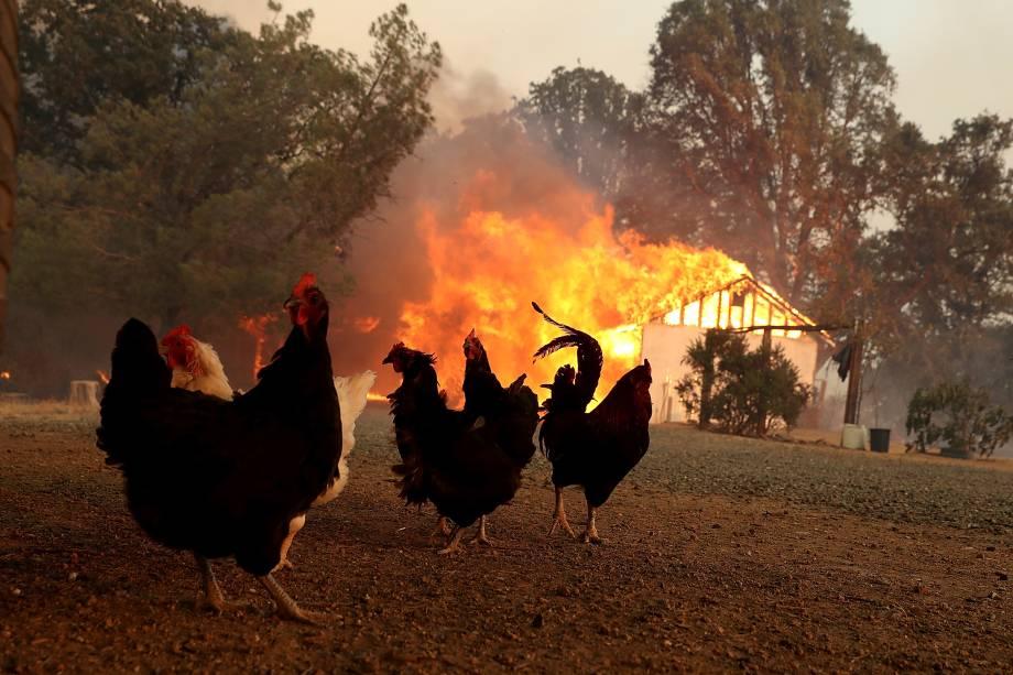 Galinhas são fotografadas próximas a um celeiro em chamas durante avanço do incêndio River Fire, em Lakeport na Califórnia - 01/08/2018