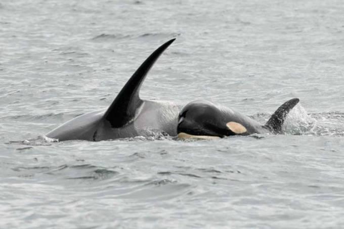 Orca Tahlequah