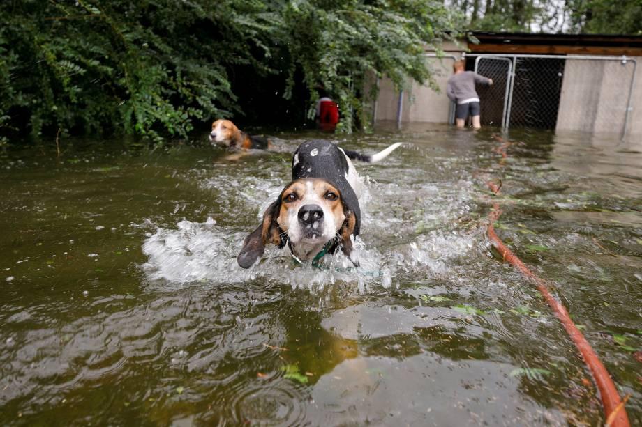 Cães em pânico que foram deixados enjaulados por um proprietário que fugiu das enchentes provocadas pelo furacão Florence, nadam livres após serem libertados em Leland, na Carolina do Norte - 16/09/2018