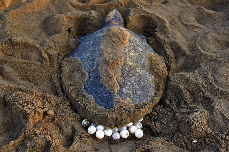 Tartarugas-olivas (Lepidochelys olivacea) retornam ao mar depois de depositar seus ovos na praia de Rushikulya, na Índia - 16/02/2017