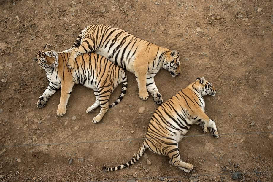 Tigres siberianos descansam no Siberiatiger Park Hengdaohezi, em Mudanjiang, na China -  25/08/2017