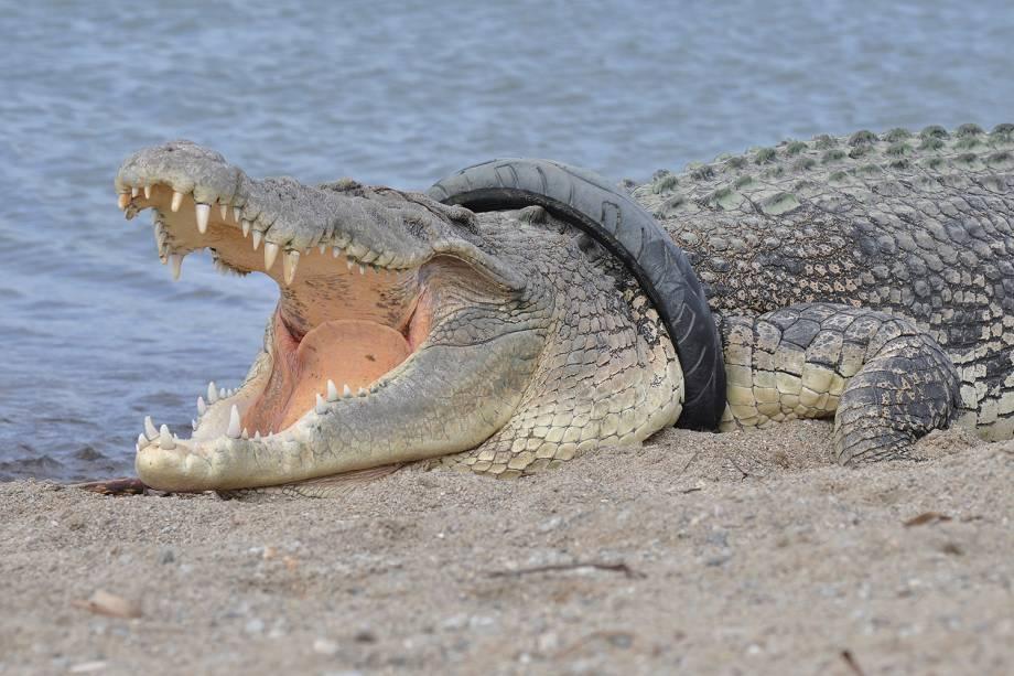 Crocodilo de água salgada é visto com pneu em seu pescoço em Palu, na Indonésia - 16/01/2018