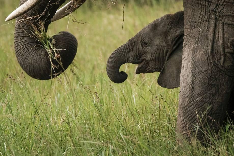 Filhote de elefante é visto na Reserva Nacional de Masai Mara, no sul do Quênia - 24/01/2018