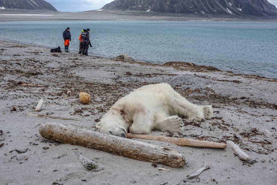 """Urso polar é visto  morto na praia de Sjuyane, ao norte de Spitzberg, na Noruega. Aautoridades norueguesas disseram que o urso polar atacou tripulante do navio de cruzeiro """"MS Bremen"""" que estava levando turistas para um arquipélago ártico entre a Noruega continental e o Polo Norte. O urso polar foi morto a tiros -"""
