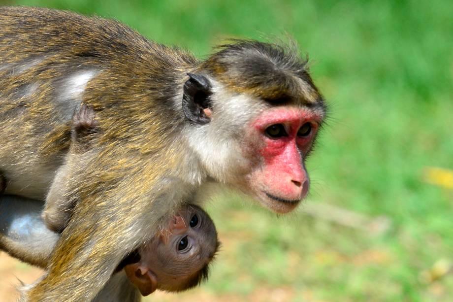 Um macaco Makake segura seu bebê enquanto caminha pela grama na cidade de Sigiriya, no Sri Lanka, a cerca de 165 km ao norte de Colombo - 11/10/2018