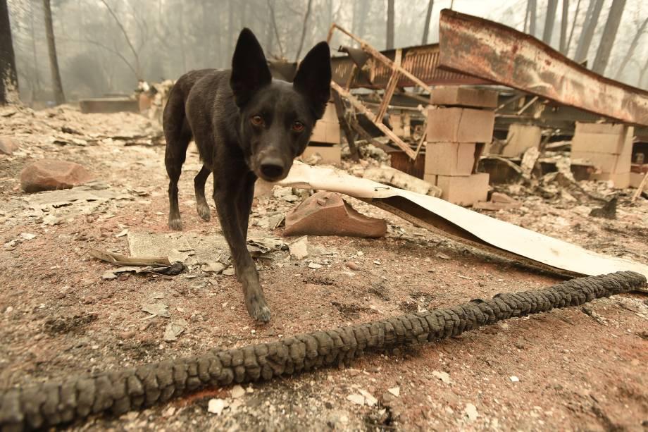 A cadela Suzie, treinada para encontrar cadáveres procura por restos mortais em propriedades destruídas pelo incêndio Camp Fire em Paradise, na Califórnia - 15/11/2018