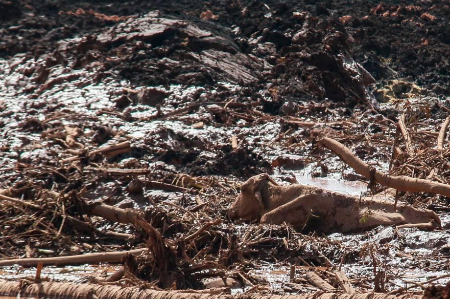 Vaca fica presa na massa de lama após a ruptura de uma barragem na mina de ferro do Feijão, em Brumadinho (MG) - 25/01/2019