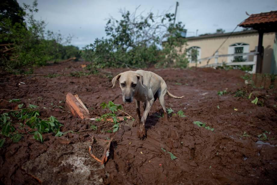 Cachorro caminha sobre lama na comunidade do Parque da Cachoeira, um dia após o colapso de uma barragem pertencente à mineradora Vale perto da cidade de Brumadinho (MG) - 26/2019