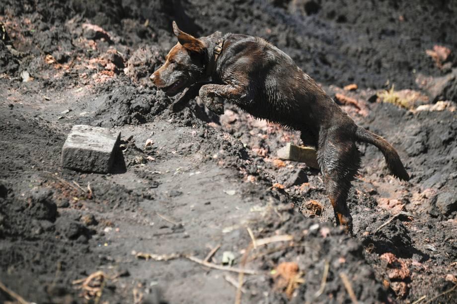 Chewbacca, cão utilizado pelos bombeiros em resgates, auxilia na busca por vítimas após o rompimento de barragem da mineradora Vale, em Brumadinho (MG) - 31/01/2019