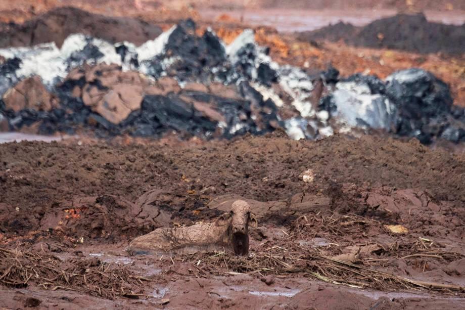 Vaca é vista sobre a lama na comunidade de Casa Grande, após rompimento de barragem nos arredores da cidade de Brumaduinho (MG) - 27/01/2019