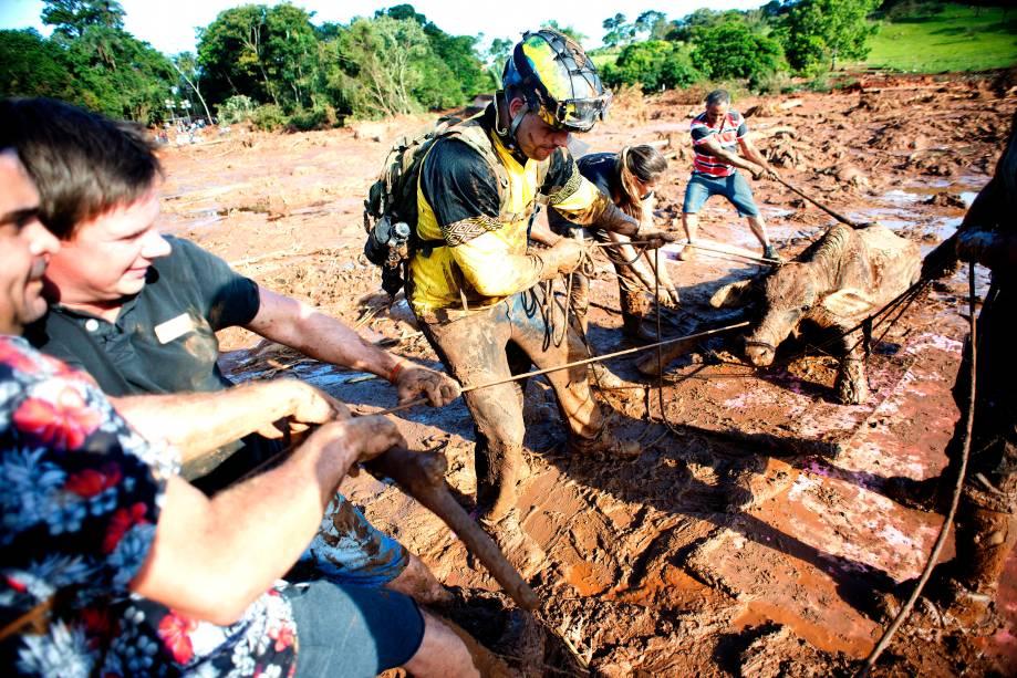 Equipes de resgate e voluntarios tentam fazer o salvamento de uma vaca parcialmente soterrada na lama.