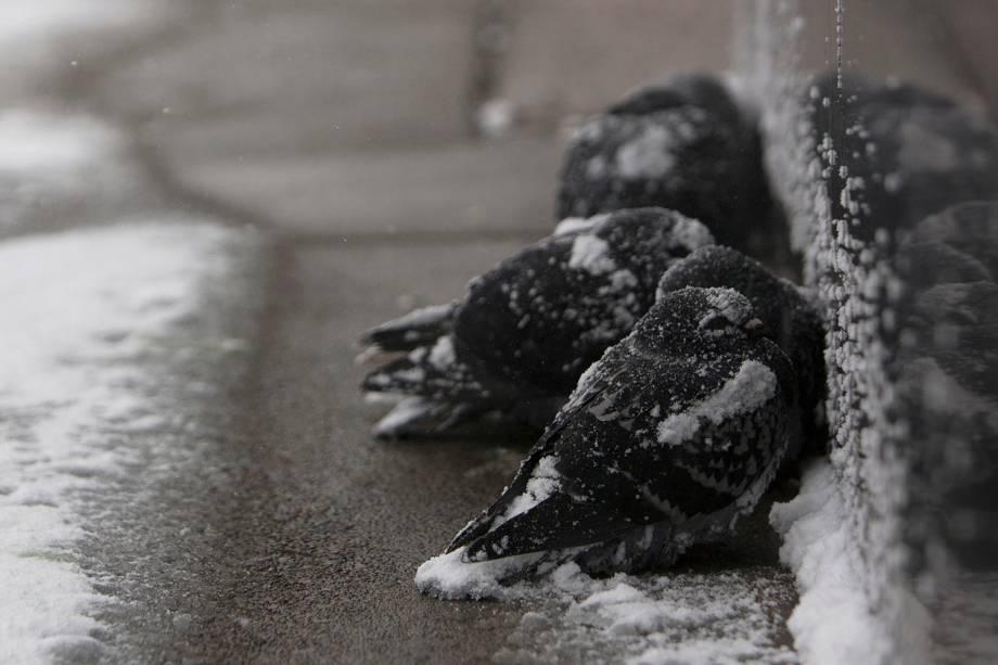 Pombas são vistas cobertas de neve enquanto tentam se aquecer na cidade de Buffalo, em  Nova York - 30/01/2019