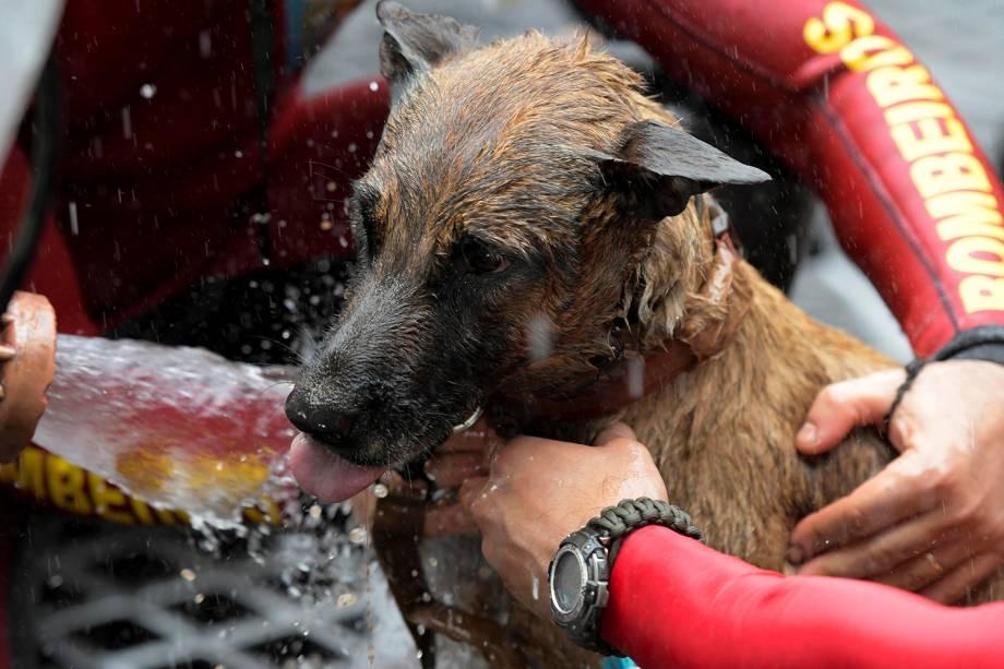 Cachorro resgatado é lavado para remoção de lama proveniente do rompimento de barragem em Brumadinho - 13/02/2019