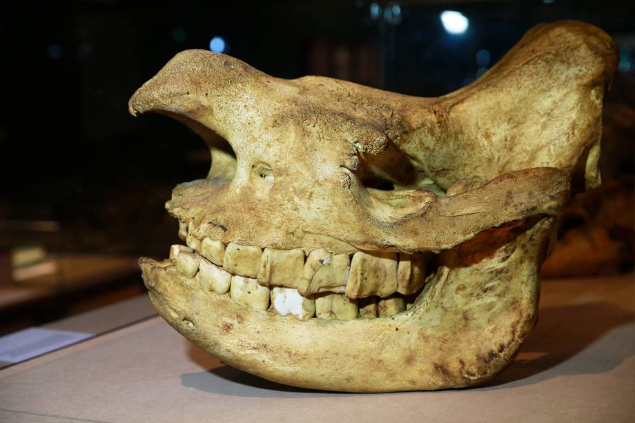 Crânio de rinoceronte-negro na exposição 'Museu Nacional Vive - Arqueologia do Resgate' - 25/02/2019