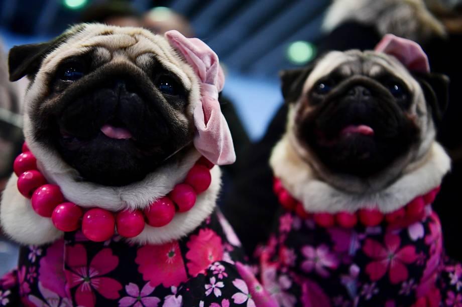 Pugs participam do Westminster Kennel Club Dog Show, realizado em Nova York - 09/02/2019