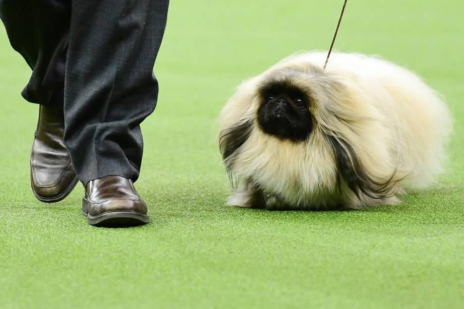 Pequinês e seu dono competem na categoria Toy do Westminster Kennel Club Dog Show, realizado em Nova York - 11/02/2019
