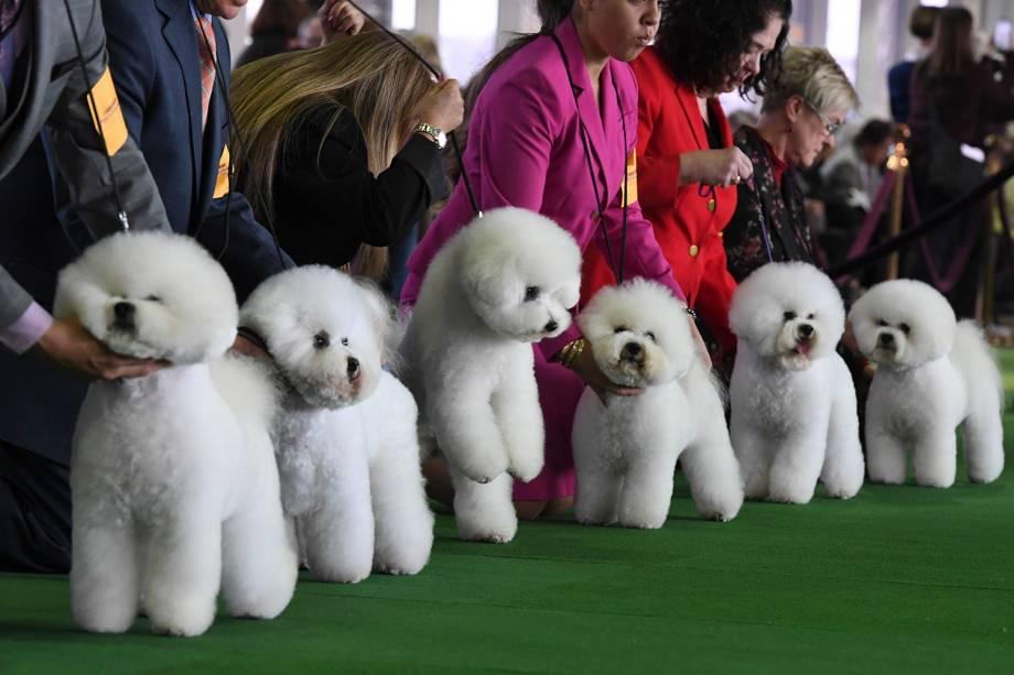 Cachorros da raça Bichon Frise são vistos durante o Westminster Kennel Club Dog Show, realizado em Nova York - 11/02/2019