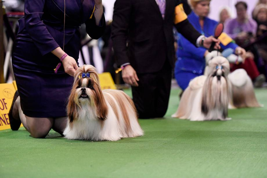 Cães da raça Shih Tzu participam do  Westminster Kennel Club Dog Show, realizado em Nova York - 11/02/2019